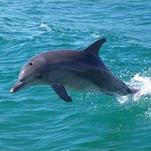 Dolphins Shield Swimmers from Great White Shark