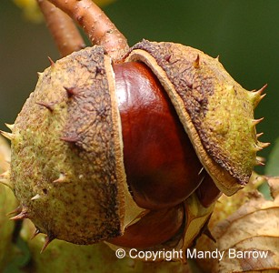 conker in shell